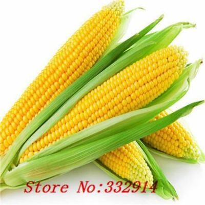 20 Rare Sweet Corn Fresh Organic Heirloom Vegetable Seeds