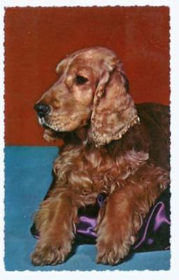 Vintage Postcard PC Irish Setter Dog Krüger Germany 1962
