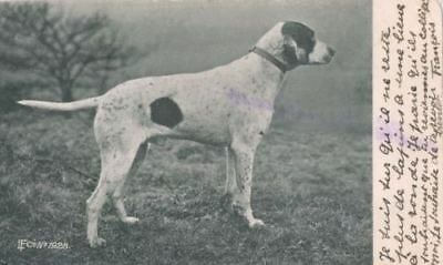 Vintage Rare Postcard PC Pointer Hunting Dog Portrait Belgium 1903