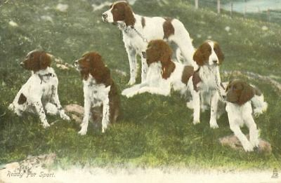 Old Tuck Postcard PC 6 Irish Red & White Setter Dogs England c1908