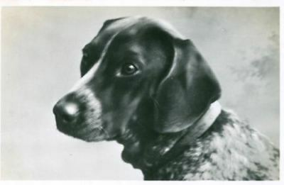 RARE Personal Photo Postcard PC German Shorthaired Pointer Dog Netherlands 1936