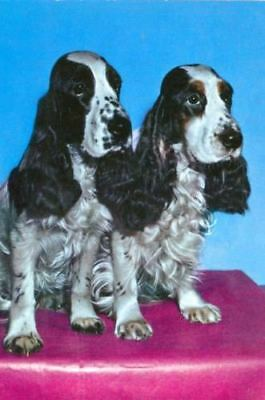Vintage Oversize Postcard PC 2 Springer Spaniel Dogs c1960s Krüger West Germany