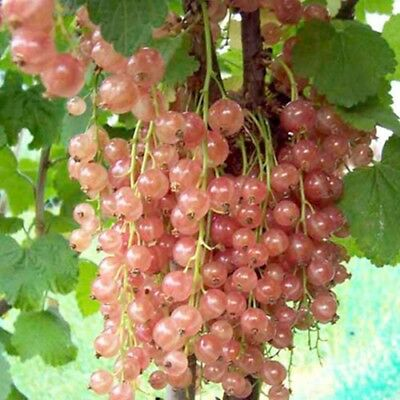 Rare 20 Pink Currant Seeds PINK SHAMPAGNE Fresh Fruit Seeds-From 2018