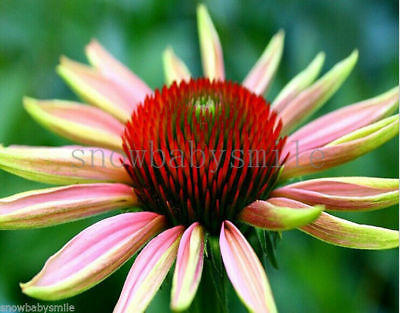 500 Purple Coneflower Seeds Echinacea Purpurea Flower Perennial Herb Heirloom