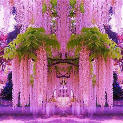 30pcs Purple Wisteria Flower Seeds Perennial Climbing Plants Bonsai Home Garden