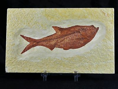 Xl Diplomystus Dentatus Fossil Fish Green River Wy 4.5 Inches Long Free Stand