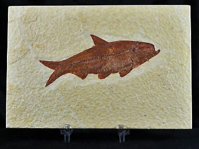 Knightia Eocaena Fossil Fish Green River Wy Eocene 3.7 Inches Long Free Stand