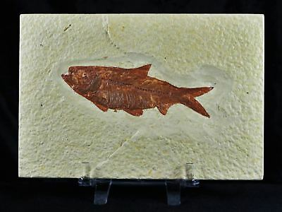 Knightia Eocaena Fossil Fish Green River Wy Eocene Age 3.8 Inches Free Stand
