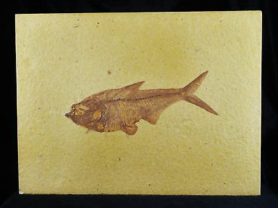 Xxl Diplomystus Dentatus Fossil Fish Green River Wy Eocene Age 5 Inches Long