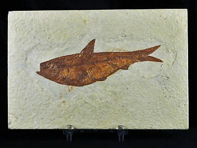 Xl Knightia Eocaena Fossil Fish Green River Wy Eocene Age 4.2 Inches Free Stand