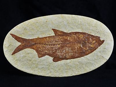 Xl Knightia Eocaena Fossil Fish Green River  Wy Eocene Age Oval 4.2 Inches Long