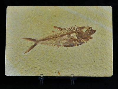Diplomystus Dentatus Fossil Fish Green River Wy Eocene Age 4.2 Inches Free Stand