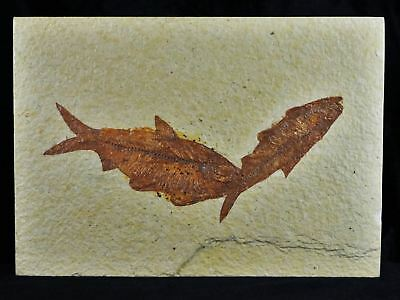 2 Two Knightia Eocaena Fossil Fish Green River Wy Eocene Age 3.8 Inches Long