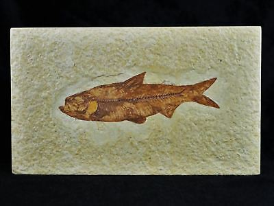 Knightia Eocaena Fossil Fish Green River Formation Wy Eocene Age 3.2 Inches