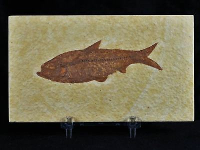 Knightia Eocaena Fossil Fish Green River Wy Eocene Age 3.3 Inches Free Stand