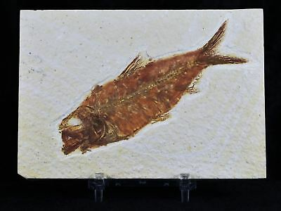 Xl Knightia Eocaena Fossil Fish Green River Wy Eocene Age 4.2 In Long Free Stand