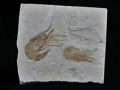 2 Two Fossil Shrimp Carpopenaeus Cretaceous Age 100 Million Years Old Lebanon