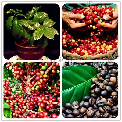 10pcs/bag Coffee Bean Bonsai tree plant seeds Coffee Cherry Seed for home and ga