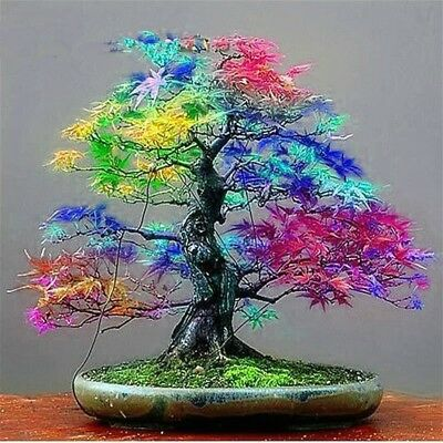 20 Seeds/pack Japanese Red Maple Seeds Rare Rainbow Color Seeds