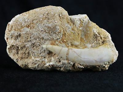 Saber Toothed Herring Fossil Fang Tooth In Matrix Enchodus Libicus Cretaceous