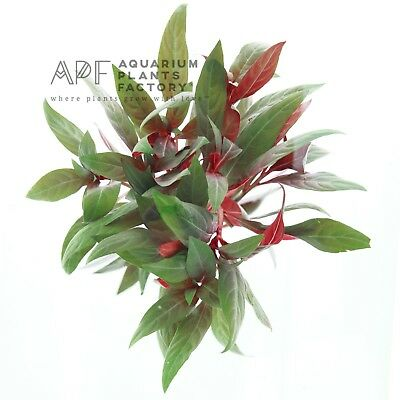 Ludwigia Peruensis Bunch Glandulosa Live Aquarium Aquatic Plants BUY2GET1FREE*