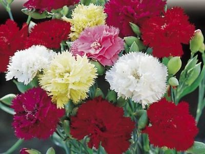 100Pcs /Set Carnation Chabaud Giants Mix Seeds Scented Perennial Good Cut Flower