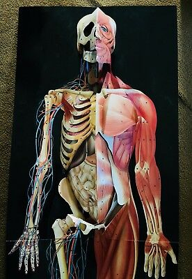 DIMENSIONAL MAN 3D Life Size Anatomical Pop-Up Wall Chart life size ...