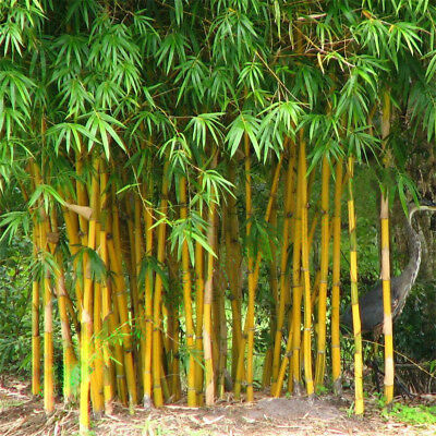 100Pcs Seeds Phyllostachys Pubescens Moso-Bamboo Seeds Garden Plants Decor FO