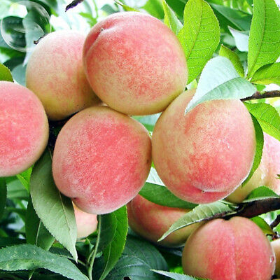 Egrow 5Pcs/Pack Peach Tree Seeds Garden Dwarf Bonanza Sweet Peaches Bonsai Fruit