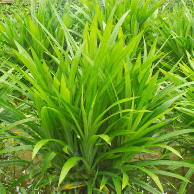 Egrow 50Pcs/Bag Fragrant Grass Seeds Annual Pandan Flower Potted Seeds Fragrant