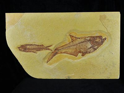 Xxl 2 Two Knightia & Diplomystus Fossil Fish Green River Formation Wy Eocene