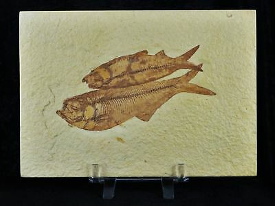 Top Xl 2 Two Knightia & Diplomystus Fossil Fish Green River Wy Eocene Free Stand