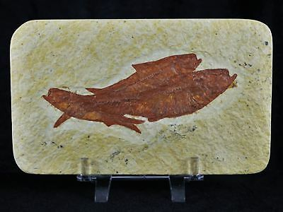 3 Three Knightia Eocaena Fossil Fish Green River Wy 3.5 Inches Long Free Stand