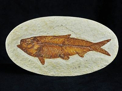 Xl Knightia Eocaena Fossil Fish Green River Wy Eocene Age Oval 4.7 Inches Oval