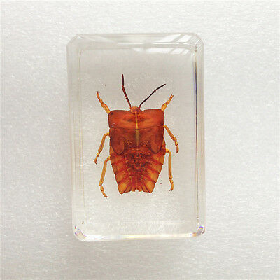 Insect Specimen Ghost BugTessaratoma Papillosa In Clear Lucite Paperweight