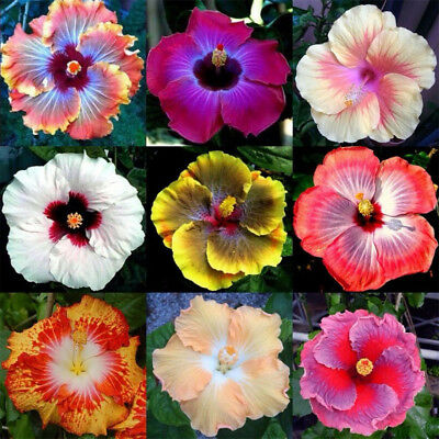 10pcs Rare Mixed Color Types Giant Hibiscus Exotic Coral Flowers Seeds FO