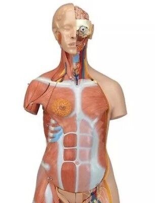 3B Scientific B40 Deluxe Dual Sex Muscle Torso 31-part Anatomical Model Anatomy