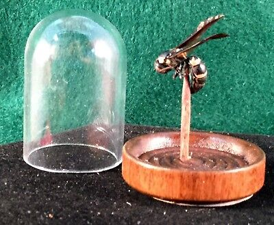 CWmisc  Taxidermy Preserved Wasp Glass Dome Display Wasp entomology insect bee