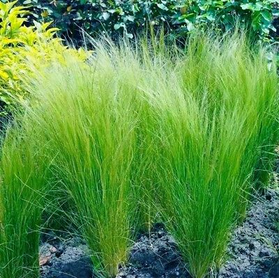 10 pcs Mexican Feather Grass (Stipa tenuissima) bonsai Ornamental Grass Seeds