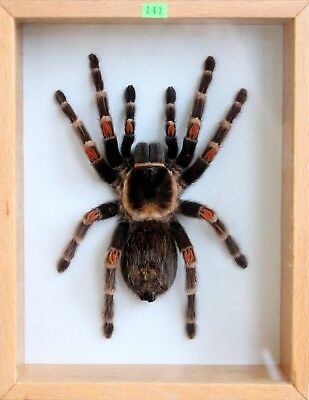 Unique Real Tarantula XXL (Mexican Flame Knee) Taxidermy - Mounted,Framed