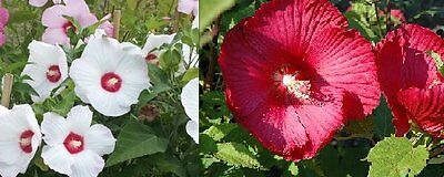 Hardy Hibiscus Mixed Colors Perennial 15 Seeds Easy To Grow
