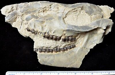 Rare Mesohippus Partial Skull, Three Toed Horse Fossil, South Dakota, H392