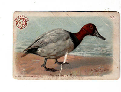Arm & Hammer Saleratus Soda Church & Dwight Birds Canvasback Duck Card c1910