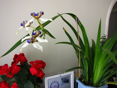 1 x Walking Iris plant with roots / free shipping