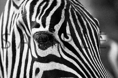 Photograph Wallpaper Digital Picture Image Desktop Background --- ZEBRA ---