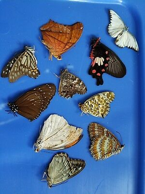Real Butterfly Taxidermy Entomology