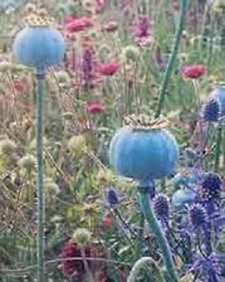 Poppy Giganteum Somniferum 250 Flower Seeds Free Ship!