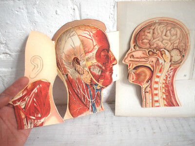 Anatomical Medical Fold Out Poster Print Human Head Vintage Retro Antique 1900s
