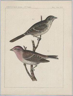 1855 Chromolithograph of Song Sparrow from the Pacific Railroad Survey