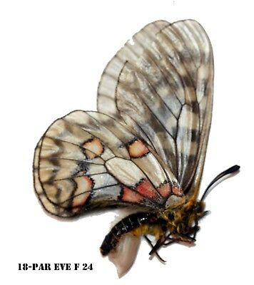 Insect Butterfly Moth Papilionidae Parnassius eversmanni thor-Rare! PAR EVE F 24